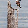 Belted Kingfisher, mature female, perched on snag, Phippsburg Maine