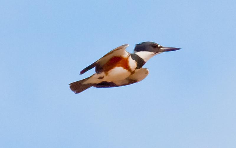Belted Kingfisher, female in flight Belted Kingfisher, female, flight