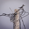 Belted Kingfisher, male perched on utility pole Phippsburg Maine