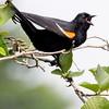 Red-winged blackbird singing, male, Phippsburg Maine