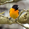 Baltimore oriole male, perched, right facing