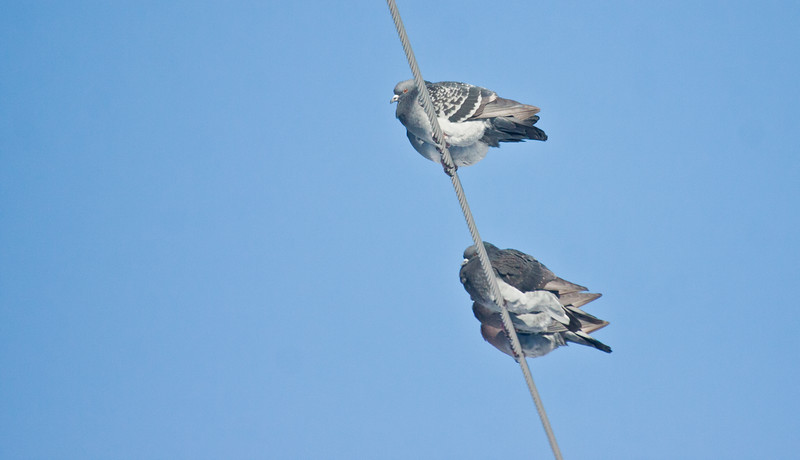 Pigeons on wire, Maine