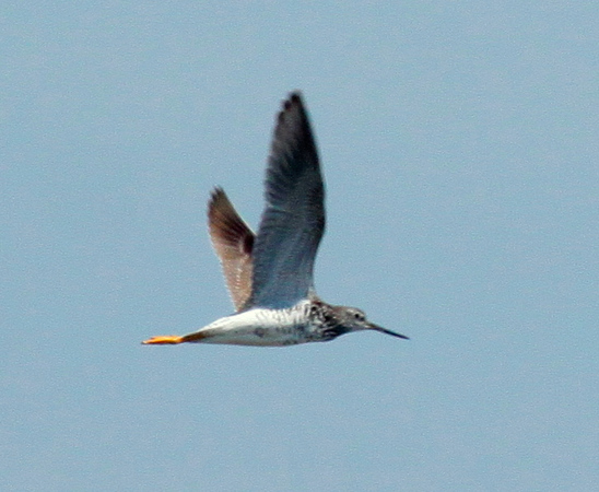 Greater Yellowlegs in flight, right facing, migratory shore bird, PHippsburg, Maine in summer
