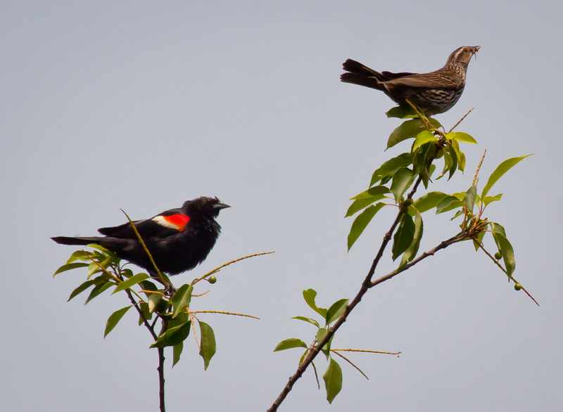 Red-winged blackbird male and female, female with food Phippsburg Maine