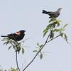 Red-winged Blackbird Couple
