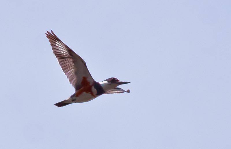 Belted Kingfisher, female, flight Phippsburg Maine