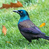 Migratory Common grackles are uncommon birds here in Phippsburg, Maine. I get them every fall at  Totman Cove.