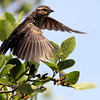 Red-winged Blackbird, Female bird in flight, taking off from perch in Alders, Phippsburg, Maine migratory bird