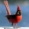 Northern Cardinal with Tomato Horn Worm