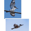 Belted Kingfishers, male top, female bottom. Note that the male does not have a russet breast where the female does. The way I remember which is which is that I think of the female as wearing a dirty apron. These birds are mostly migratory in Maine, though a few hang around for the winter along the coast where there is open water for fishing. Phippsburg Maine.