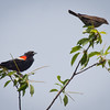 Red-winged blackbird, male and female, female with food, Phippsburg Maine