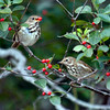 Hermit Thrushes on Hermit Island eating Winterberries