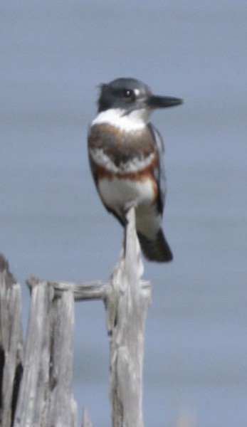 Belted Kingfisher Belted Kingfisher, female, flight