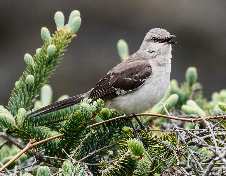 Mockingbird singing, Phippsburg, Maine