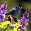 Grey Catbird eating sumac berries. Staghorn sumac provide an important food source for birds and small mammals in Maine. This photograph was taken in Phippsburg in spring. The purple flowers are old fashioned Lilacs. I can almost smell them!