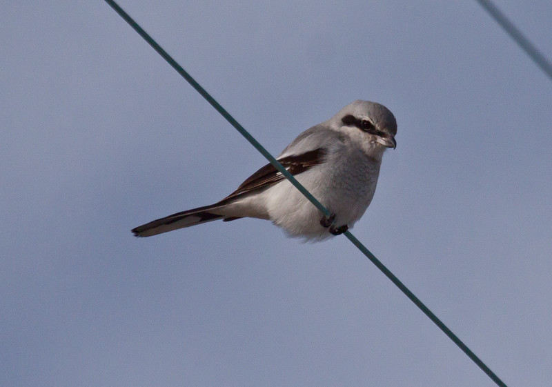 Northern Shrike, a predatory boreal songbird, Phippsburg, Maine February 2013, Sebasco Harbor