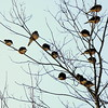 Mourning Doves roosting at sunset, Phippsburg Maine