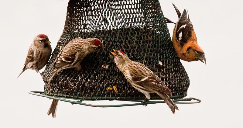 Common redpolls squabbling over food, White-winged crossbill, male, Phippsburg Maine