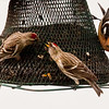 Common redpolls squabbling over food, White-winged crossbill, male, Phippsburg Maine