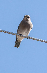 Townsend's Solitaire (Myadestes townsendi) is a medium-sized thrush, the only solitaire native to America north of Mexico