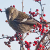 White-winged Crossbill, Female In Winterberry