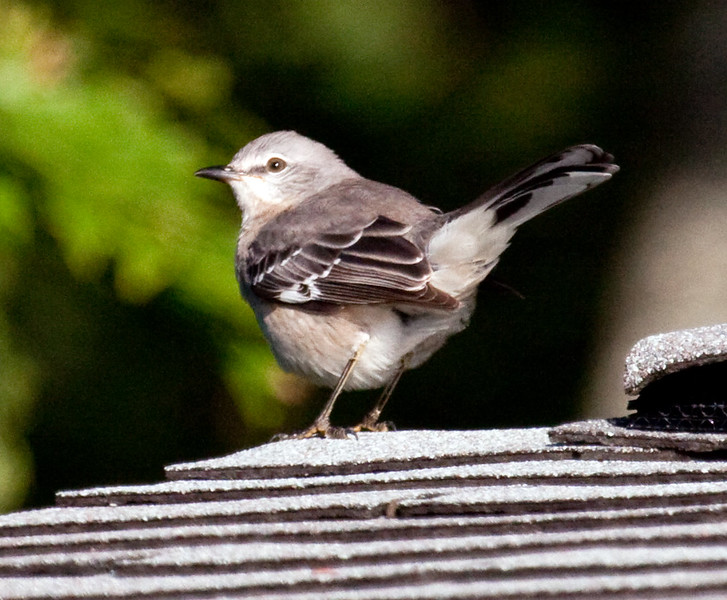 Northern Mockingbird, male perched on roof top, left facing. Northern Mockingbirds are common in coastal Maine. They migrate, but occasionally one or two will stay along the coast for the winter. They are insectivores that favor open areas and high perches, such as roof tops.