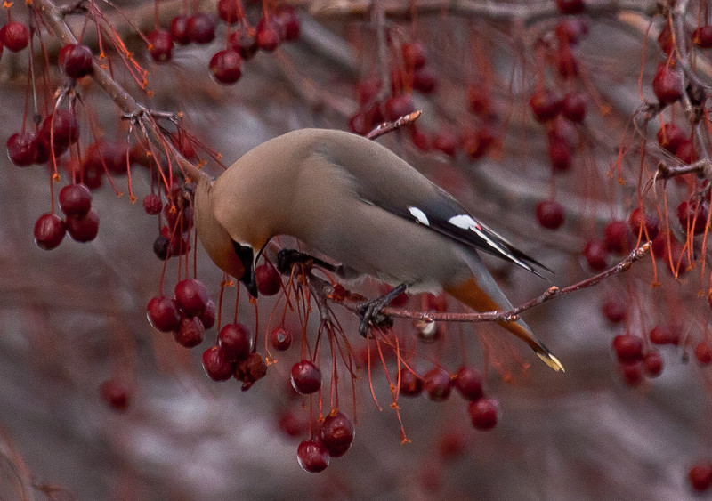 Bohemian Waxwing and crabapples, Phippsburg Maine
