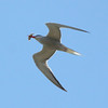 Common tern in flight with fish, left facing, migratory shore bird that dives for fish, PHippsburg, Maine