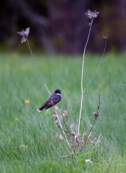 Eastern Kingbird perched on dried Queen Anne's lace flower stalks, field, Phippsburg, Maine migratory songbird