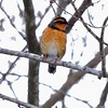 Varied Thrush, male, Topsham, Maine, January 2011