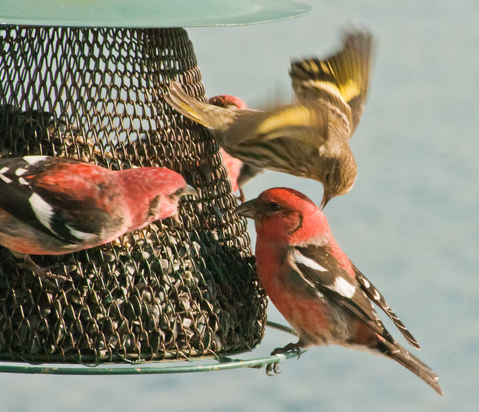 White-winged crossbills, males and Pine siskin, male fighting at feeder Phippsburg Maine
