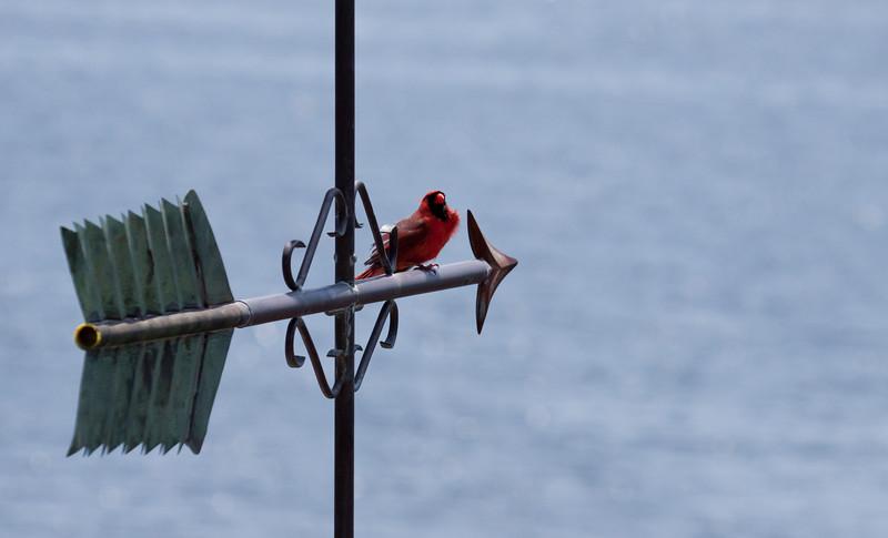 Northern Cardinal male on weathervane, Phippsburg, Maine