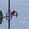 Northern Cardinal male on weathervane, Phippsburg, Maine