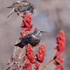 European Starlings perched on Staghorn sumac, Phippsburg Maine