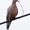 Mourning dove with nest material, Phippsburg Maine