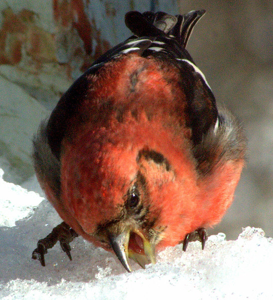 White winged crossbill male eating snow. In the winter, open water that isn't frozen is at a premium for birds. They do eat ice and snow as seen here. Phippsburg, Maine