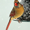 Female Northern Cardinal at bird feeder with seed during a winter snow storm, Phippsburg, Maine