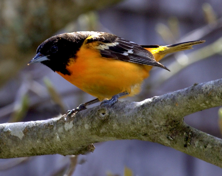 Baltimore oriole, male, perched left facing