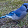 Blue Jay, full side view sitting on grass, Phippsburg, Maine