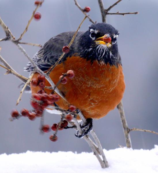 North American robin eating red Winterberry, Ilex verticillata, indigenous shrub, deciduous holly, bird eating berries in the snow, winter scene, songbird Phippsburg, Maine