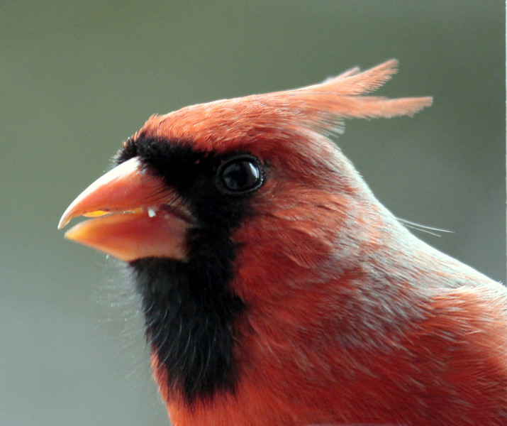 close up head shot red, male Northern cardinal