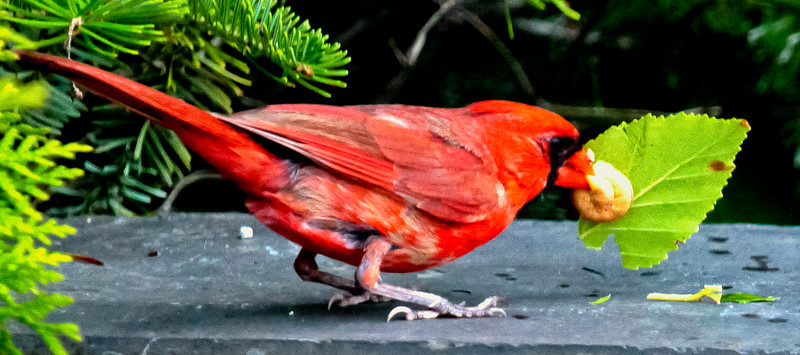 Northern Cardinal male with caterpillar, Phippsburg Maine