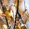 Evening Grosbeak female perches in Birch Tree, Phippsburg, Maine, October