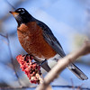 North America robin, female perched on Staghorn sumac berries, winter, Phippsburg, Maine. robins change their diet from mostly insects to berries to survive winter in Maine. Most of them migrate or at least move south of their summer, breeding range. However, a few stay  on all winter in coastal Maine.