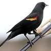 Red Winged Black bird male with crisp red shoulder patches, perched on feeder pole