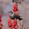 European starlings in Staghorn sumac, Phippsburg Maine autumn
