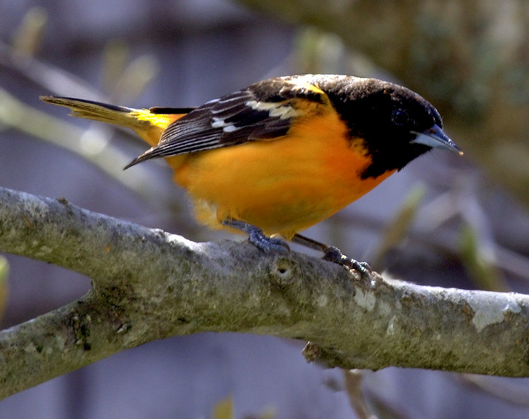 Baltimore oriole, male, May, Phippsburg Maine right facing