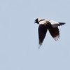 Bobolink, male in flight, left facing, Woolwich, Maine, spring, May