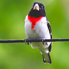 male Rose-breasted grosbeak, perched on wire, Maine, spring