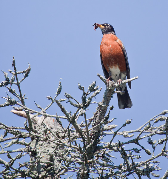 American robin with food perched on dead spruce encrusted with lichen